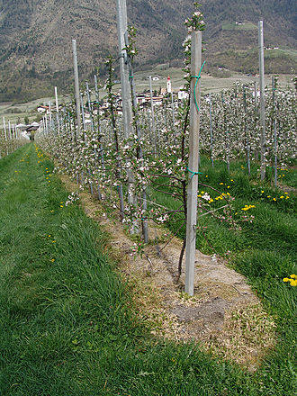 Glyphosate - Glyphosate used as an alternative to mowing in an apple orchard in Ciardes, Italy