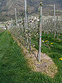 Roundup-in-apple-orchard.jpg