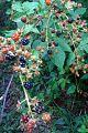Rubus fruticosus, mûre sauvage, blackberry (4842608292).jpg