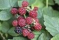 Rubus ssp., Giresun 2018-08-18 5.jpg