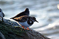 Ruddy Turnstone (Arenaria interpres) (15838707267).jpg