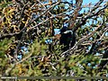 Rufous-naped Tit (Periparus rufonuchalis) (22990217443).jpg