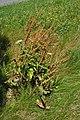 Rumex crispus - seedhead, whole plant (18875443190).jpg