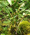 Rusbyella peruviana (3).jpg