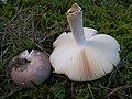 Russula medullata, Ockersporiger Speisetäubling.jpg