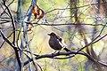 Rusty blackbird (38703513212).jpg