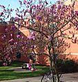 Rutgers tree blossoms.JPG