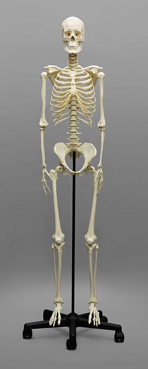 Bone Clones - European human female skeleton