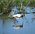 STORK AT ANHINGA BOARDWALK EVERGLADES PARK - panoramio.jpg