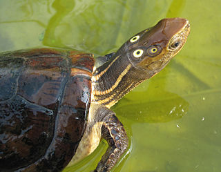 Four-eyed turtle species of reptile