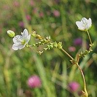 Sagina nodosa inflorescence (01).jpg