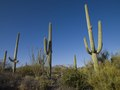 Saguaro Cactus near Tucson, Arizona LCCN2010630276.tif