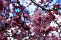 Sakura (138652027).jpeg