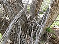 Salix amygdaloides (4018710470).jpg