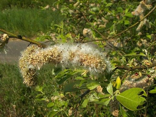 Salix caprea 025