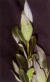 Salix planifolia(01)