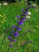 Salvia pratensis 003.JPG