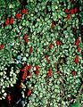 Samienta scandens of the Gesneriaceae (8396434085).jpg