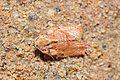 Sand camouflaged moth (8448376846).jpg