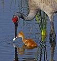 Sandhill Crane Mother and Chick - Flickr - Andrea Westmoreland.jpg