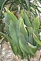 Sansevieria masoniana 0zz.jpg