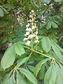 Sapindales - Aesculus hippocastanum 1.jpg
