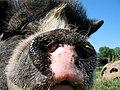 Sasha Farm Sanctuary Pig.jpg