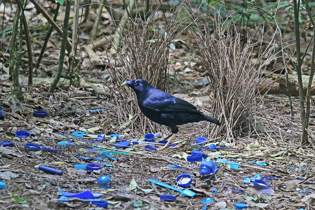 Satin Bowerbird at his bower JCB.jpg
