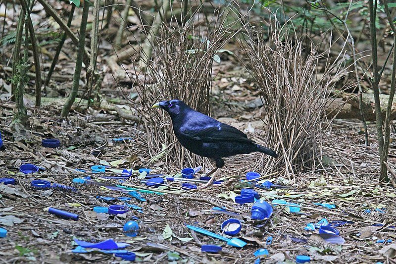 File:Satin Bowerbird at his bower JCB.jpg