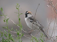 Small bird with a large bill, bold head markings, a dull belly, and a patterned back perching on a twig.