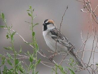 Saxaul sparrow - A breeding male of the subspecies ammodendri in southeastern Kazakhstan