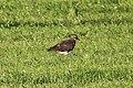 Schiermonnikoog - Kievit (Vanellus vanellus).jpg