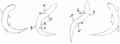 Scincus scincus movement drawing.png