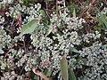 Scleranthus perennis inflorescence (10).jpg