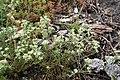 Scleranthus perennis plant (06).jpg