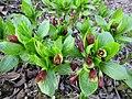 Scopolia carniolica Finland 2016-04-30.jpg