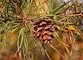 Scrub Pine Pinus virginiana Cone 2800px.jpg