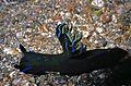 Sea Slug Tambja morosa (7976744838).jpg