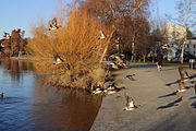 Seattle - Anas americana in flight at Green Lake 01.jpg