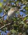 Sedge warbler (Acrocephalus schoenobaenus) 6.jpg