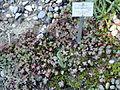 Sedum spathulifolium - Botanischer Garten, Frankfurt am Main - DSC02522.JPG