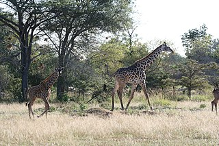 Eastern miombo woodlands