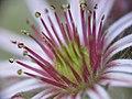 Sempervivum blossom (2678747626).jpg