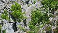 Senda del Alba árboles en la roca - panoramio.jpg