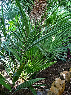 Serenoa repens, Arecaceae, Saw Palmetto, habitus.