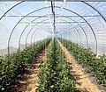 Serre de tomates - Fraisochamps - Thil.JPG