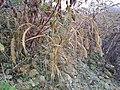 Setaria italica subsp. italica sl7.jpg