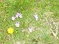 Shar Planina Flora (3).JPG
