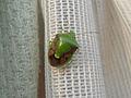 Shield bug (Pentatomidae genus) at Madhurawada.JPG