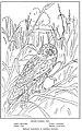 Short-eared Owl-PHOB 0319.jpg